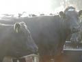 koeien westervelde
