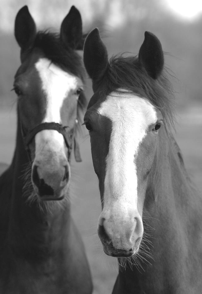 hondstong-paarden